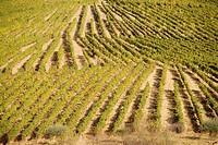 Grape Vines, Fields at the Symington States in Pinhao,  Duoro Valley, Duoro, Portugal