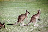 Grey Kangaroo (Macropus giganteus)