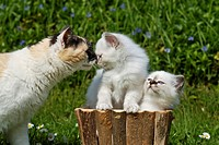 Two Birman kittens in a planter, greeting an adult cat