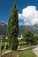 Cypress, Kaltern or Caldaro, Trentino, Alto Adige, Italy, Europe