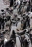 Magallenic Penguins on beach, Punto Tombo, Argentina