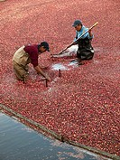 Workers harvesting cranberries from cranberry bog in Cape Cod, Massachussets