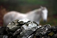 Stone wall fence detail with white horse, Ireland, Irish Republic, Europe