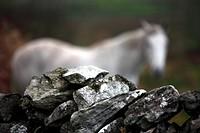 Stone wall fence detail with white horse, Ireland, Irish Republic, Europe