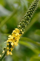 Flower of Agrimony Agrimonia eupatorium, Wales.
