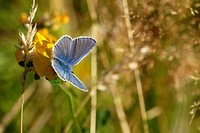 Common Blue butterfly, Polyommatus icarus, Wales.
