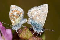 Common Blue butterflies, Polyommatus icarus, mating, Wales