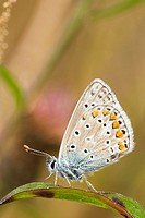 Common Blue butterfly Polyommatus icarus, Wales