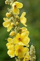 Greater Mullein flower, Verbascum thapsus