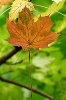 Single coloured leaf clinging by moisture film, Norway Maple, Acer platenoides
