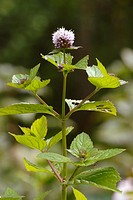 Flower of Orange or Eau de cologne Mint, Mentha piperita, Wales