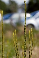 Weld, Reseda luteola growing on wasteland by a car park, Wales