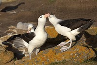 Black_browed Albatrosses or Black_browed Mollymawks Diomedea melanophris, Falkland Islands, South America