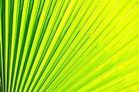 Palm-leaf, tropical rainforest, Cairns, Queensland, Australia
