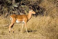 Impala (Aepyceros melampus), Mahango Park, Namibia, Africa