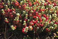 Red crowberry or Diddle-dee (Empetrum rubrum), Falkland Islands, South America