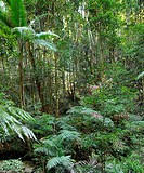 Tree Ferns (Cyatheales), temperate rainforest, UNESCO World Natural Heritage Site, Fraser Island, Great Sandy National Park, Queensland, Australia