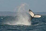 Species-specific tail slap, slap of the tail fin, of a Humpback Whale (Megaptera novaeangliae) in front of Fraser Island, Hervey Bay, Queensland, Aust...