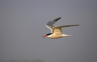Common Tern Sterna hirundo with fish Hayling Island Hampshire