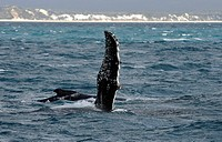 Species-specific pec slap, slap with the pectoral fin, of a Humpback Whale (Megaptera novaeangliae) in front of Fraser Island, Hervey Bay, Queensland,...