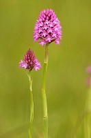 Pyramidal Orchid Orchis pyramidalis Hampshire