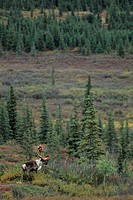Barren Ground Caribou, bull, Reindeer, Rangifer tarandus, Rangifer tarandus arcticus