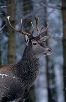 Red Deer, bull, Cervus elaphus