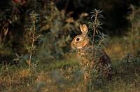 European Rabbit, Oryctolagus cuniculus