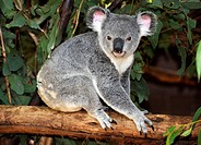 Koala (Phascolarctos cinereus) in eucalypt tree (Eucalyptus), Queensland, Australia