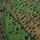Aerial photograph of olive groves in the Judean hills