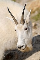 Moutain goat Oreamnos americanus in Jasper National Park  Rocky Mountains, Alberta, Canada