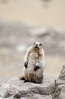 Hoary marmot Marmotta caligata Banff National Park, Rocky Mountains, Alberta, Canada