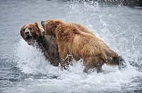 Female grizzli bear fight male to protect her cubs Ursus arctos middendorffi Kodiak Island, Alaska, USA