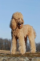 Standing large poodle, giant poodle