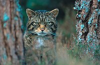 wild cat Felis silvestris, peering out from edge of a pine forest, United Kingdom, Scotland, Cairngorms NP