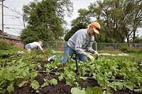 Volunteers work at the Earthworks Urban Farm, which grows fresh produce for the Capuchin Soup Kitchen, Detroit, Michigan, USA