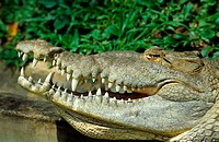 American crocodile Crocodylus acutus, portrait