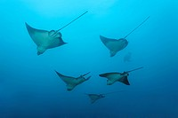 School of Eagle Rays Aetobatus narinari in open water, Cousin Rock, UNESCO World Heritage Site, Galapagos archipelago, Ecuador, Pacific Ocean