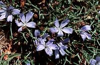 spiny chicory Cichorium spinosum, blooming plant, Greece, Creta, Idagebirge