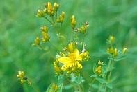 common St John´s_wort, perforate St John´s_wort, klamath weed, St. John´s_wort Hypericum perforatum, blooming