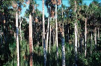 palm_swamp.