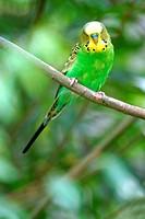 budgerigar, budgie, parakeet Melopsittacus undulatus, sitting on branch
