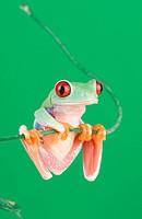 red_eyed treefrog Agalychnis callidryas, climbing on a climber