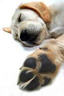 Golden Retriever Canis lupus f. familiaris, whelp sleeping, detail of paw