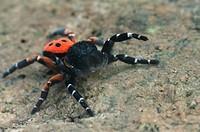 spider Eresus cinnaberinus, male.