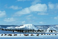 American bison, buffalo Bison bison, grazing herd in winter, USA, Wyoming, Yellowstone NP