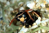 paper wasp Polistes gallicus
