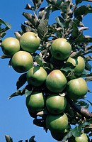 apple tree Malus domestica, 'Delicius', apples, Italy, Sep. 96, Italy