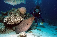 giant moray Gymnothorax javanicus, with female diver, Egypt