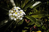Frangipani Plumeria starting to wither, Bali, Indonesia, Southeast Asia